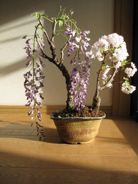 藤桜寄せ植え盆栽