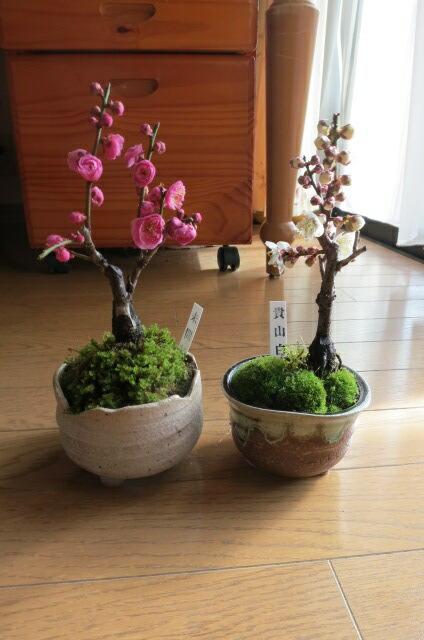 ミニ梅紅白梅盆栽