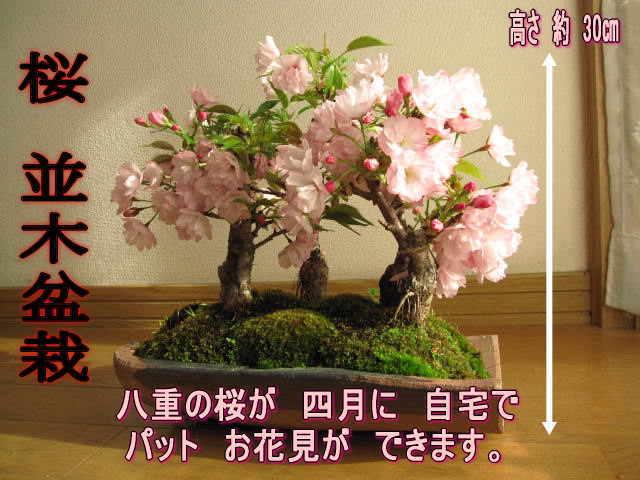 サクラ並木盆栽