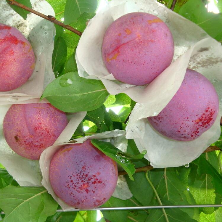 山梨県産 樹上完熟高級プラム 貴陽(贈答用)