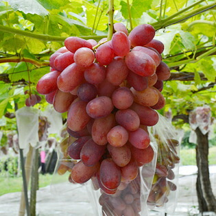 栃木県産 秀品高級葡萄リザマート(1kg箱)