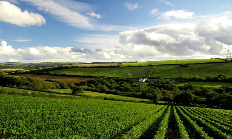イングランド・ぶどう畑風景