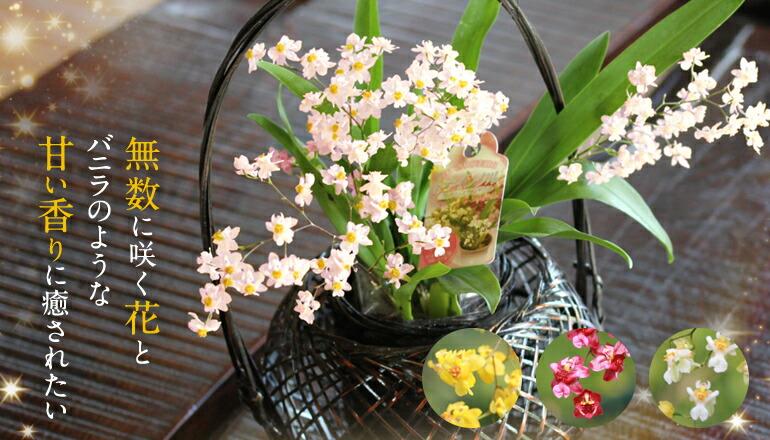 香る洋蘭トゥインクル 敬老の日