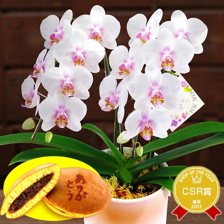 敬老の日 和風胡蝶蘭 和菓子セット