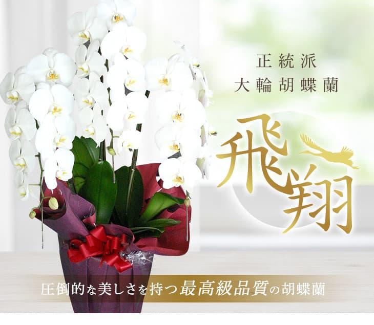 胡蝶蘭 お祝い 花
