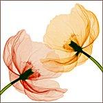 X線レントゲン写真撮影した植物・花のアートポスター&フレームシリーズ