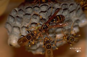 アシナガバチ 巣