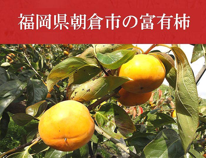 福岡県朝倉市の富有柿