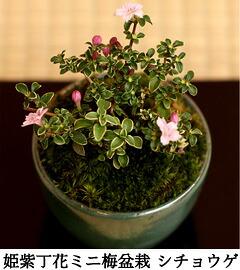 シチョウゲ盆栽