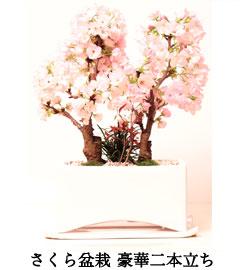 さくら盆栽