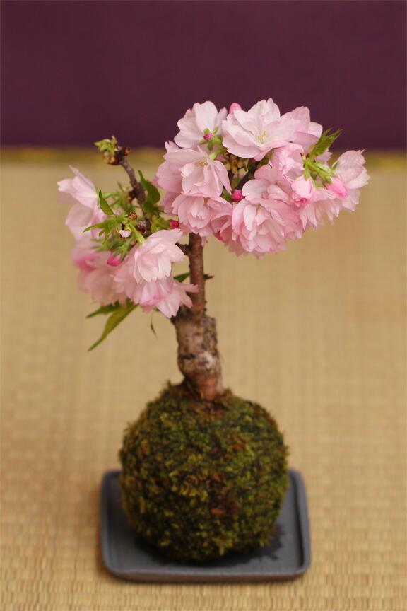 送料無料 一才桜苔玉 さくら盆栽 受け皿付 旭山桜 自宅でお花見 プレゼント・ギフトにもぴったり プレゼント・ギフトにもぴったり 桜盆栽