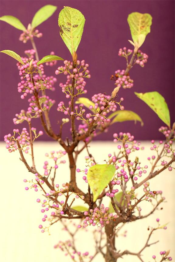 紫式部の本格盆栽 信楽焼三つ脚鉢 ムラサキシキブ プレゼント・ギフトにも!