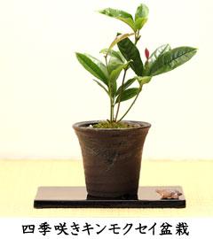 四季咲きキンモクセイ盆栽