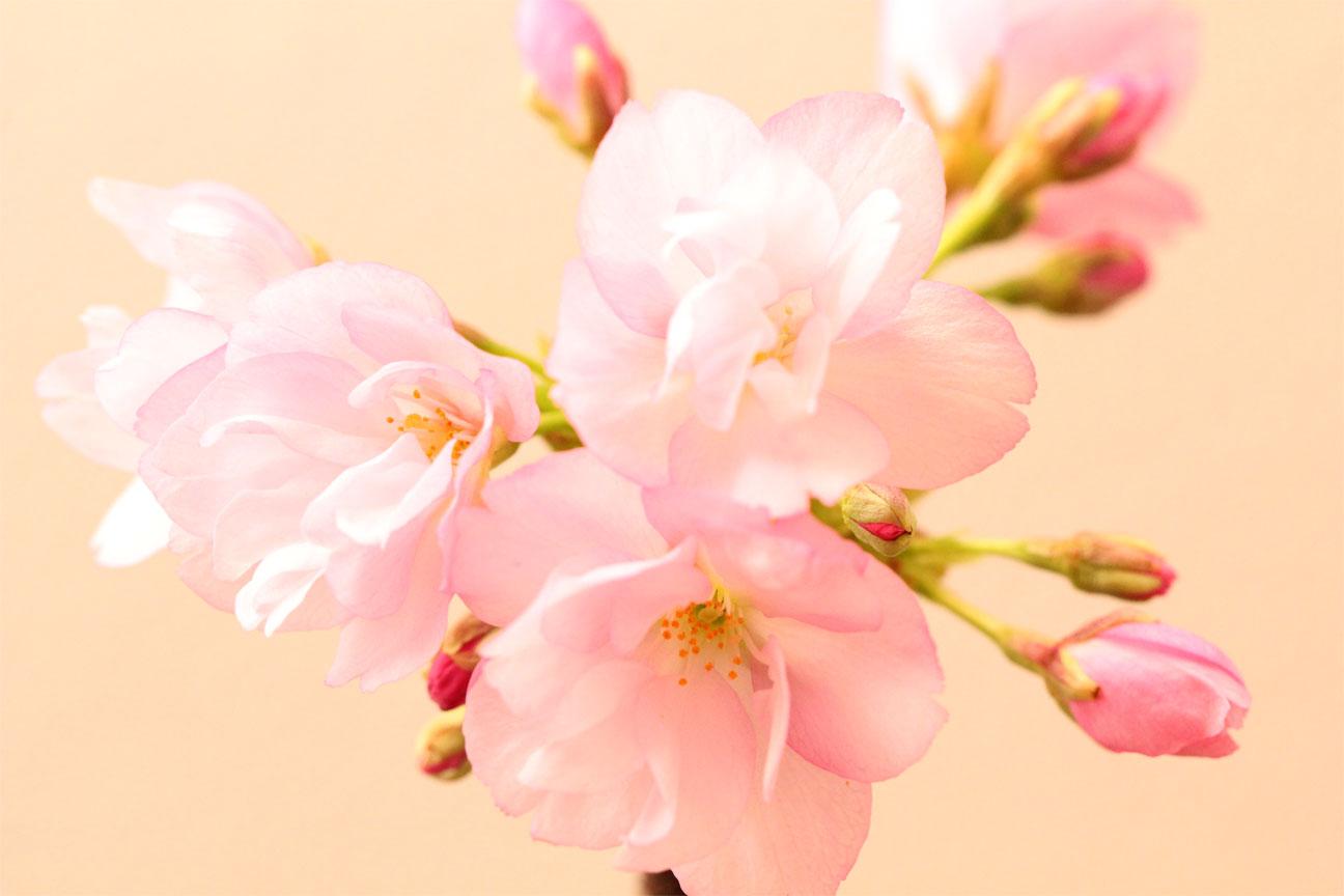 一才桜盆栽 2本立ち桜とカズラ寄せ盆栽 国産カワラ鉢受け皿付 旭山桜 自宅サクラお花見 卓上盆栽にもぴったり