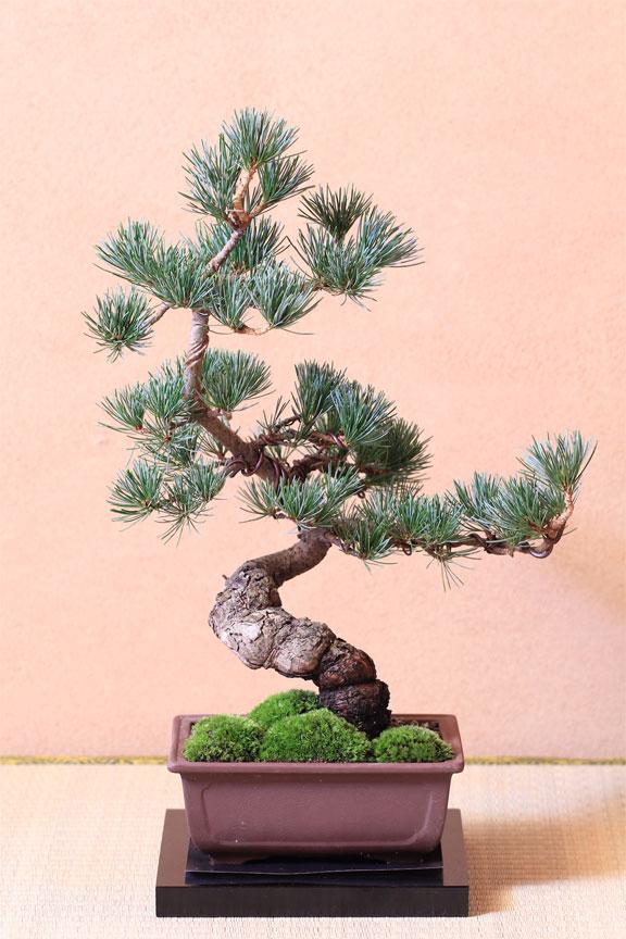 松树盆景制作视频_盆景松树的种类 _排行榜大全