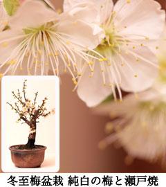 冬至梅盆栽