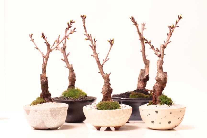 一才桜 さくら盆栽 鉢タイプお任せでお買い得 自宅でお花見 卓上盆栽にもぴったり 桜盆栽