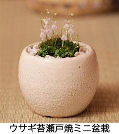 ウサギ苔盆栽