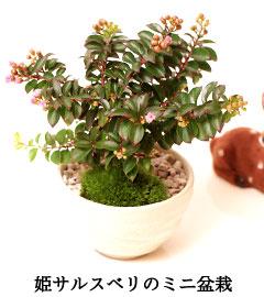 姫サルスベリ盆栽