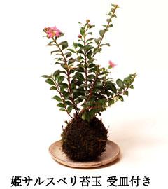 ミニ姫南天盆栽