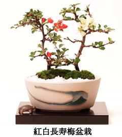 紅白長寿盆栽