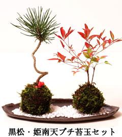 コケダマ盆栽