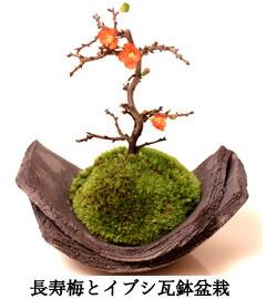 イブシカワラ長寿梅盆栽