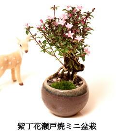 シンパク盆栽