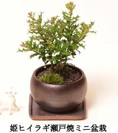 姫ヒイラギ盆栽