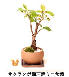 イブシカワラ花梅盆栽