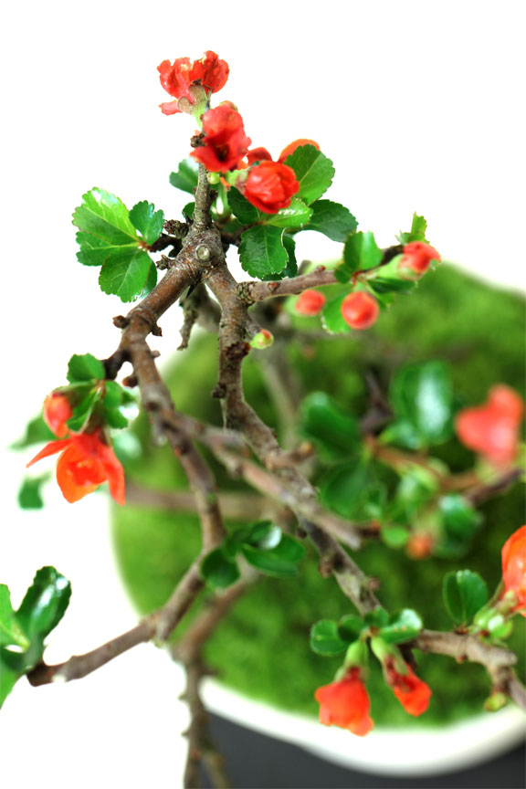 長寿梅盆栽 グレー瀬戸焼鉢入り盆栽 チョウジュバイ 卓上盆栽 プレゼントにも盆栽