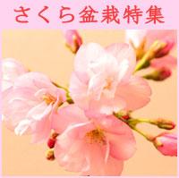 モダン盆栽中村屋桜盆栽特集