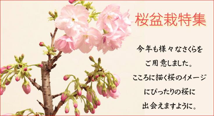 モダン盆栽中村屋花梅盆栽特集