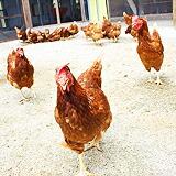 平飼いで育つ元気な鶏たち