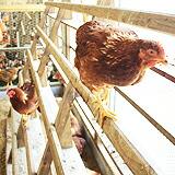 ストレス無い環境で育つ鶏たち