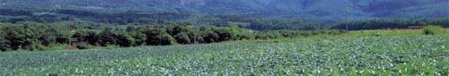 青汁の原料ケール 無農薬栽培