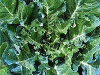 青汁粒は無農薬有機JASケール100%