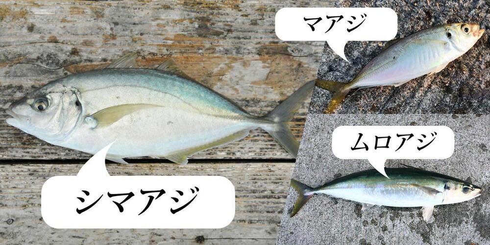 そもそもアジってどんな魚?