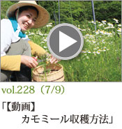 カモミール収穫方法