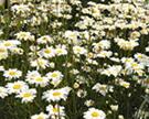除虫菊・「かえる印のナチュラルかとり線香」の主原料