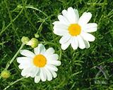 除虫菊の花