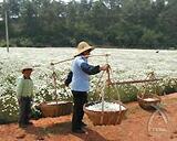 除虫菊を運ぶ