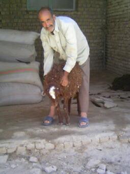 絨毯のウールをとるための羊
