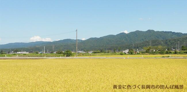 黄金色に色づく長岡市の田んぼ