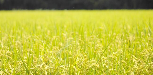 匠が作る長岡のお米