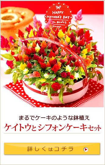 母の日ギフト 生花ケイトウとシフォンケーキ