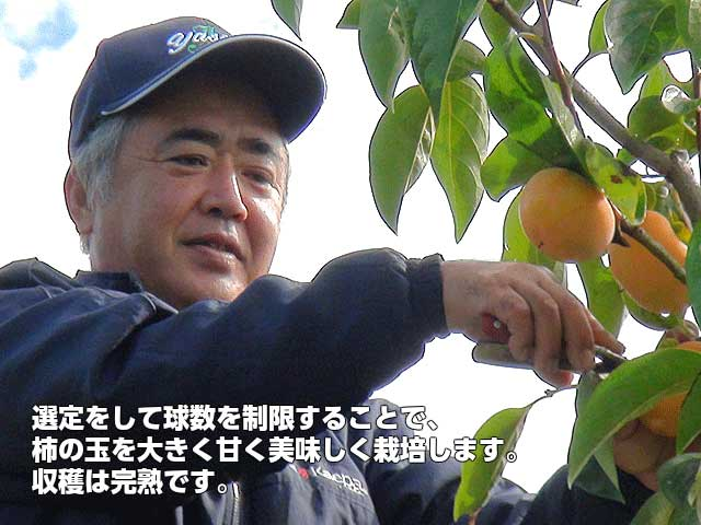 選定をして玉数を制限することで、柿の玉を大きく甘く美味しく栽培します。 完熟収穫,JAやさと柿