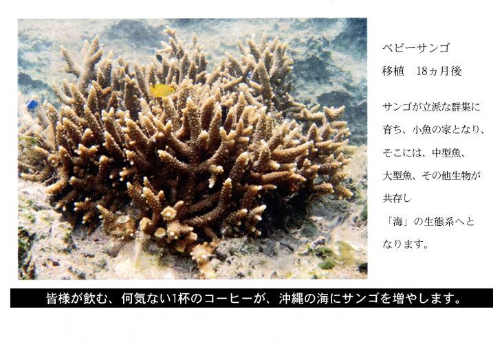 ベビーサンゴ移植と成長