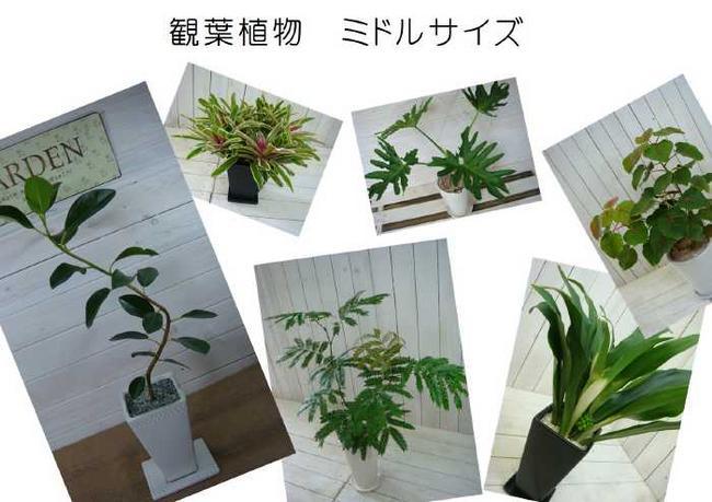 観葉植物 ミドルサイズ