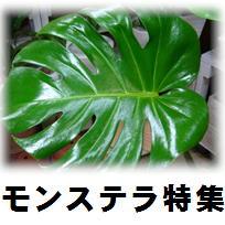 エキゾチックな葉のモンステラ特集♪